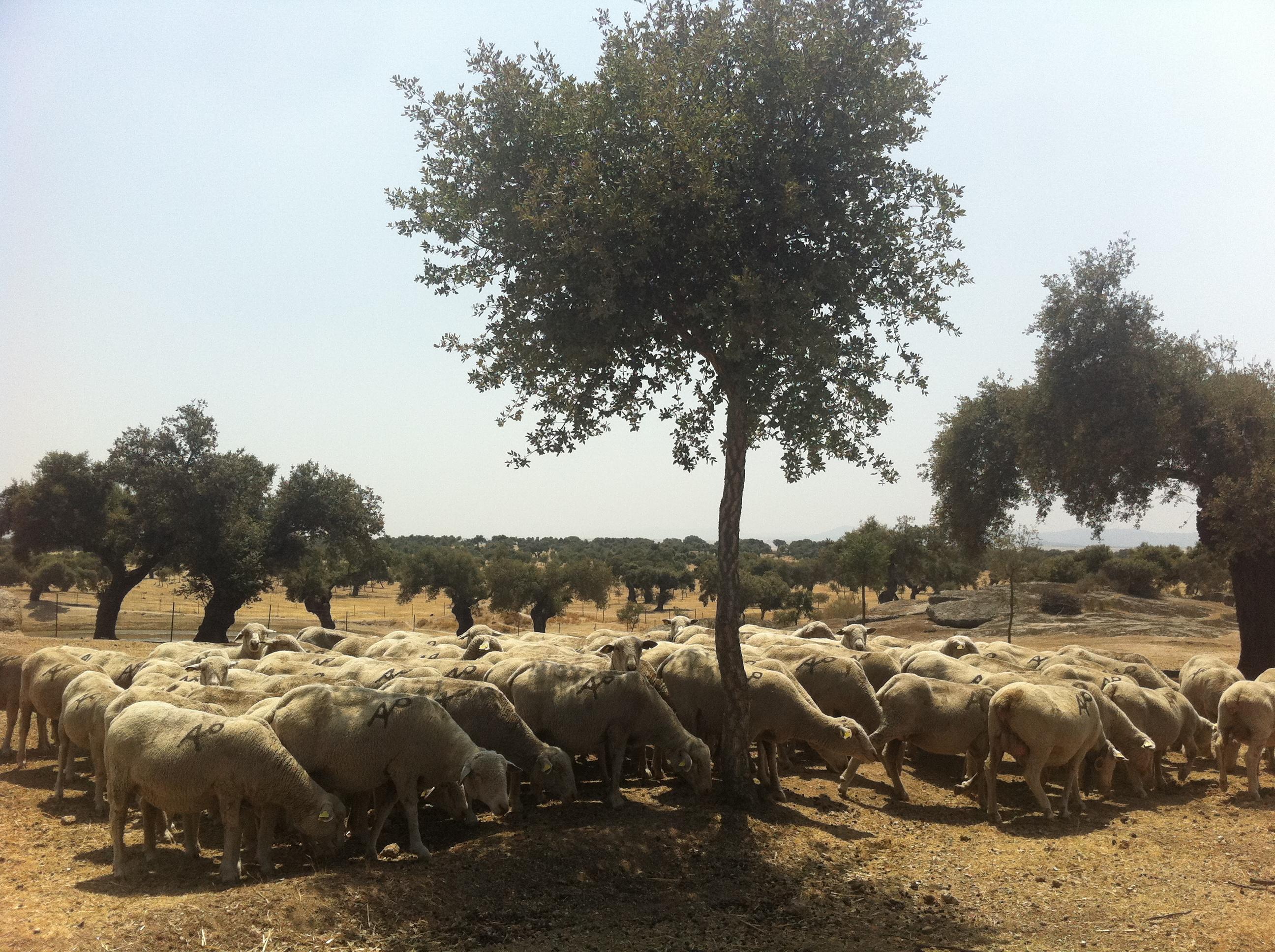 Se utilizan ovejas para prevenir incendios en la Dehesa